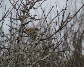 Whitethroat © Josh Marshall, 15/4/2013, Sharkham Point