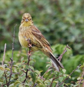 Yellowhammer © Pat Mayer, 10/8/2013, Prawle