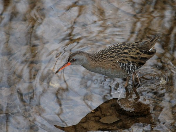 Water Rail by Chris Townend