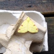 Brimstone. Moth.