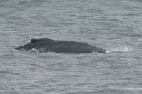 Humpback close in to the beach