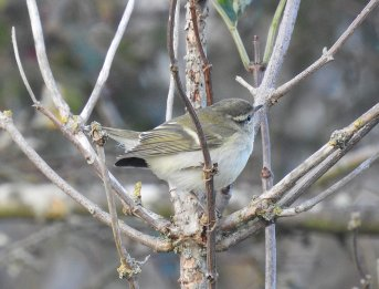 Yellow-browed Warbler Berry Head 10 Oct 2020 ML