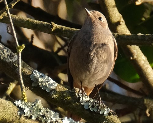 Female black redstart?