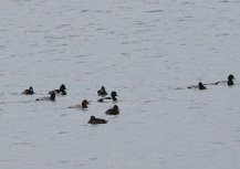 Ring-necked Duck, Scaup, tufted duck and Pochard
