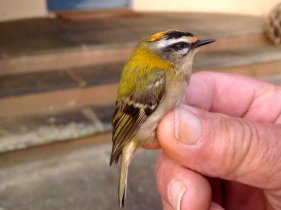 More Firecrest photo's A 1st Yr . male