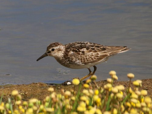 Least Sandpiper in worn summer plumage
