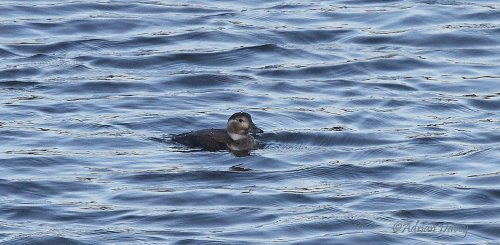Juvenile LOng Tailed Duck at Roadford.