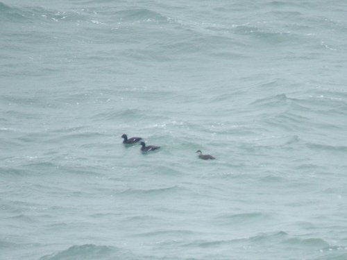 Velvet Scoter & 1 Common Scoter