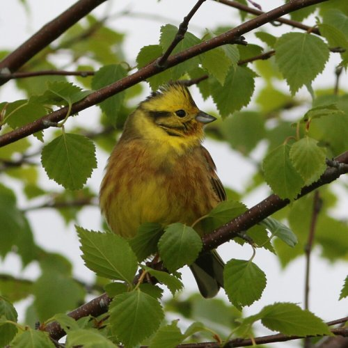Yellowhammer - Bovey Heathfield