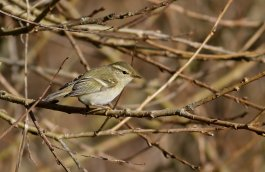 Yellow-browed Warbler, Tipton St John by Chris Townend