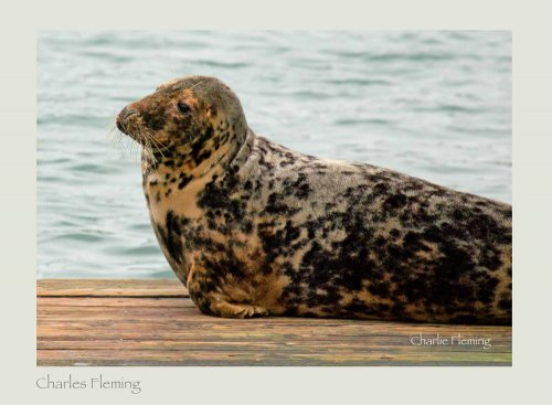 Grey Seal, Brixham Harbour.
