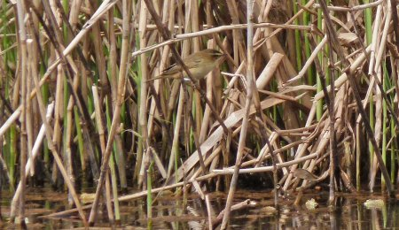 Sedge Warbler Clennon Lakes 9th April 2015 ML