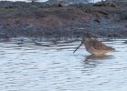 Long-billed Dowitcher © Dougy Wright, 8/12/2019, Bowling Green Marsh, Another shot