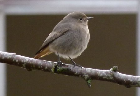Black Redstart Paignton 12 Jan 2015 ML