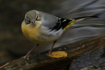 Grey Wagtail at Yarner Wood