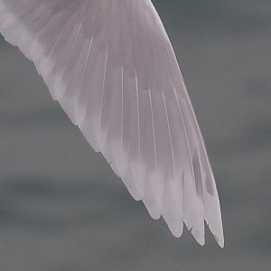 'Kumlien's Gull' right wing tip