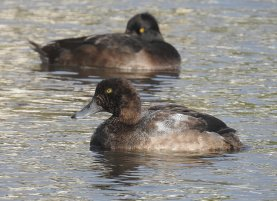 Scaup Fw Drake Goodrington 151120 ML