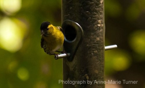 Siskin at Stover