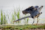 Grey Heron Stretching