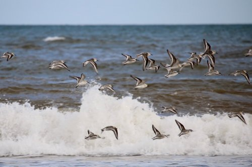 Sanderling flock at high tide