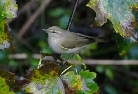 Siberian Chiffchaff Brixham 30 Oct 2015 ML