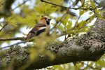 Hawfinch © Chris Bollen, 20/5/2018, Lundy