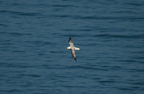 Fulmars in good numbers