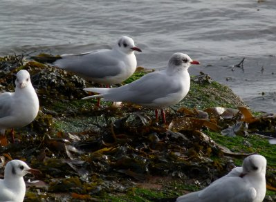 med Gull Preston 31 Jan 2013 ML