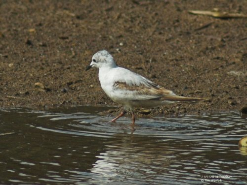 Ross's Gull - Topsham 21/7/2014