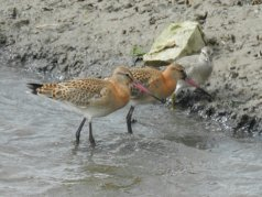 Two Black Tailed Godwit and a Knot