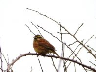 Cirl Bunting Powderham Marsh