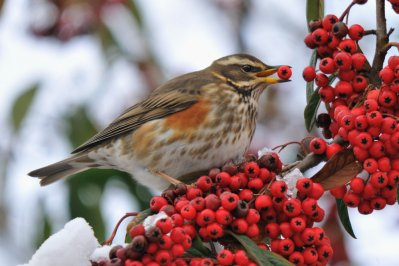 Redwing Tom Wallis