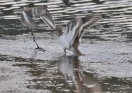 Two fighting Common Sandpiper