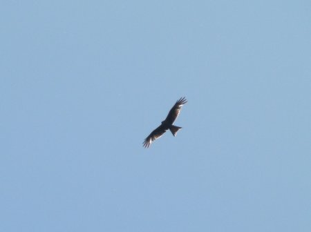 Red Kite Clennon Valley 03 June 2013 ML
