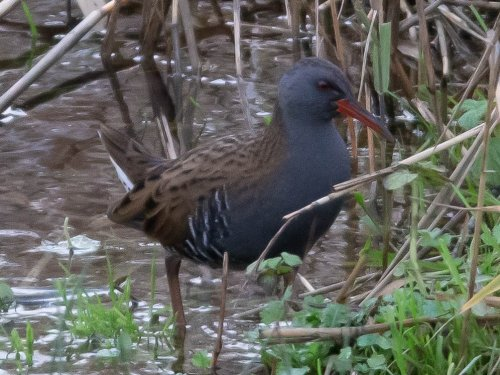 Water Rail - West Charleton Marsh - 03-12-2018