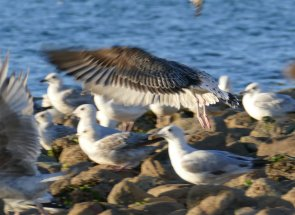 Yellow-legged Gull 2 Broadsands 13 Jul 2016 ML