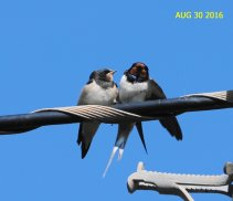 Swallows gather