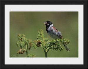 Photo 60 - Reed Bunting by Mark Dyer