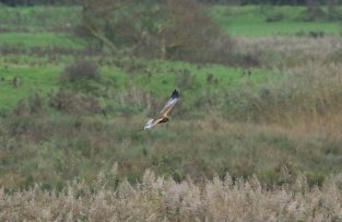 Marsh harrier, Velator