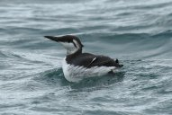 Guillemot, northern race