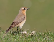 Wheatear (female)