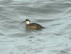 Common Scoter (probably juvenile)
