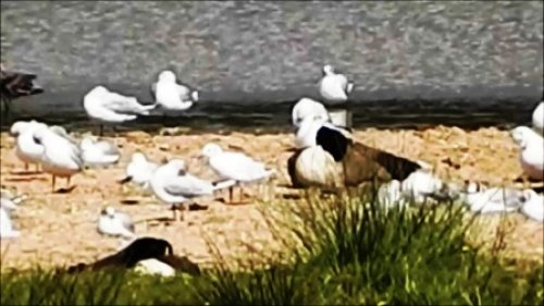 Leucistic Black Headed Gull