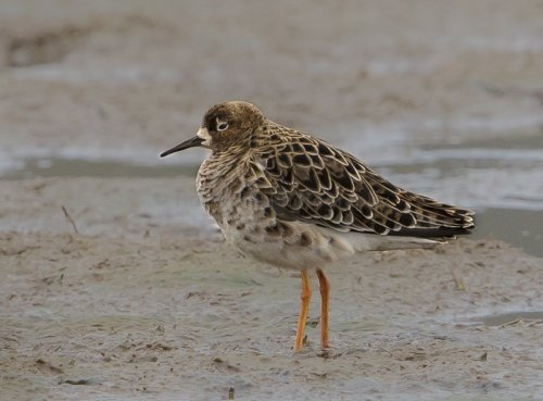 1 of 3 Ruff. Good bird for the Spring here.