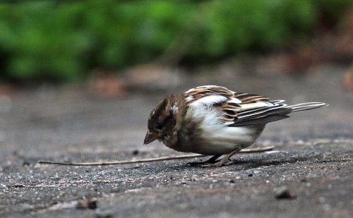 Nearly snow bunting