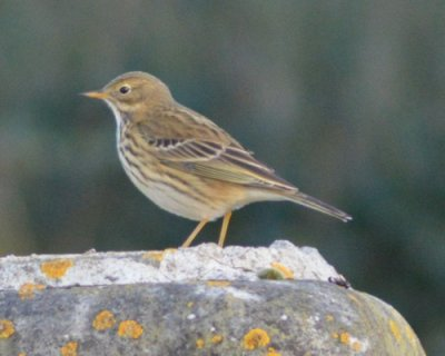 Meadow Pipit Mick Spencer 7.12.14 Ford Park Cemetery