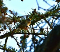 Goldcrest, catching evening light