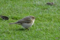 Possible Siberian Chiffchaff