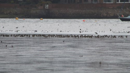 Golden Plover   at  Turf Locks