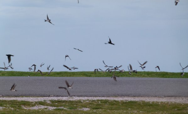 House Martins and Swallows Start Point